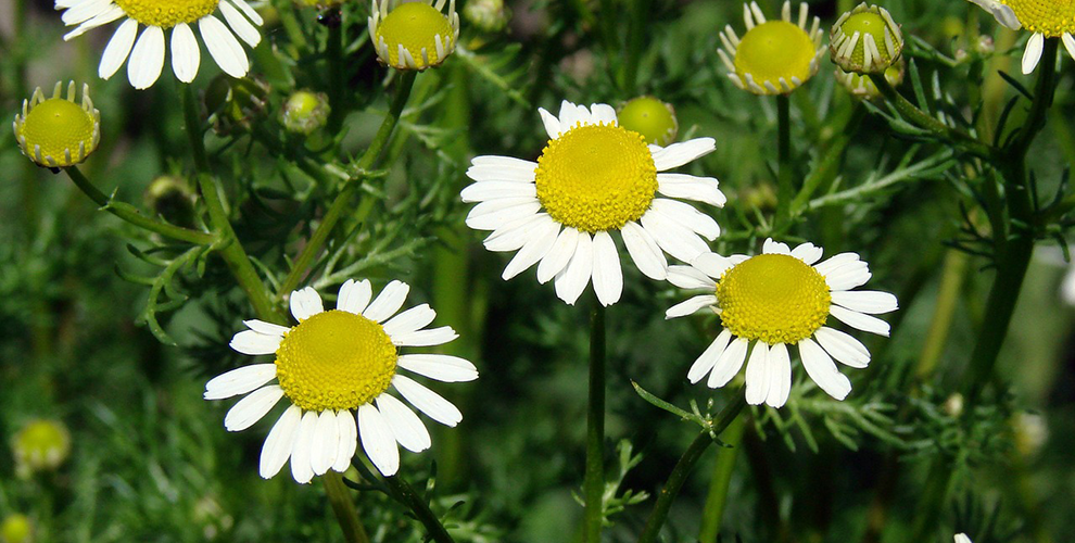 Flowers to Plant this Summer - Daises
