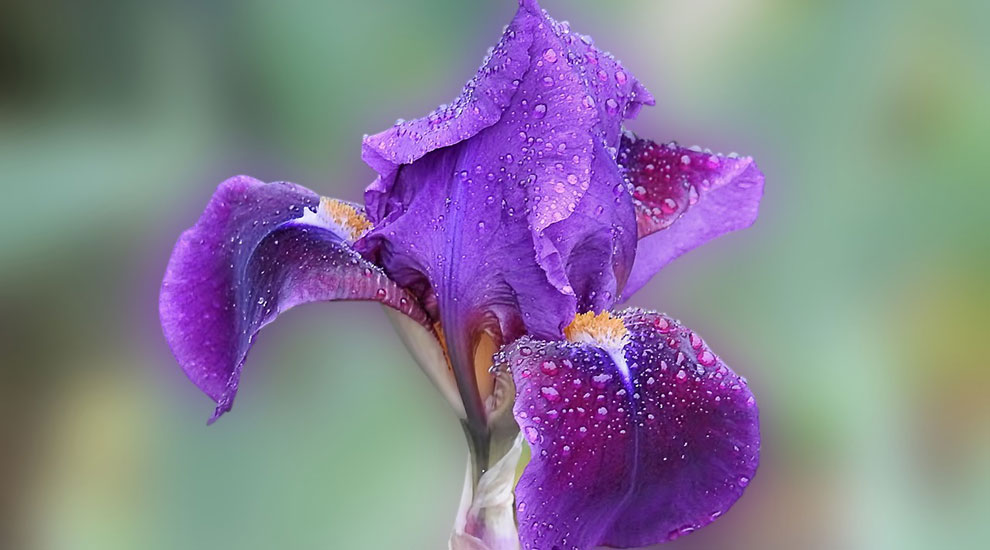 Flowers to Plant this Spring - Iris Flower